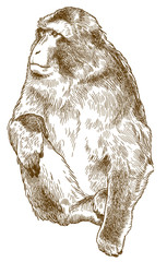 engraving antique illustration of barbary macaque