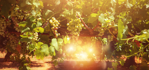 Field of vineyard full of grapes during sunrise. Wall mural