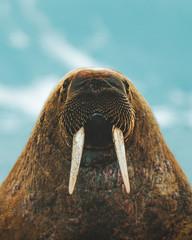 Close up of walrus