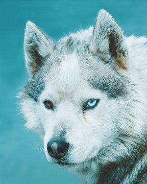 husky arctic