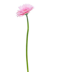 Vertical pink gerbera flower with long stem isolated on white background