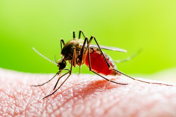 Dangerous Zika Infected Mosquito Bite on Green Background. Leishmaniasis, Encephalitis, Yellow Fever, Dengue, Malaria Disease, Mayaro or Zika Virus Infectious Culex Mosquito Parasite Insect Macro. Wall mural