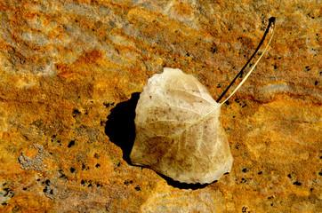 Dryed cottonwood leaf on sandstone