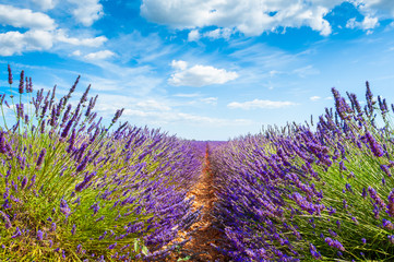 Lavender fields and the blue sky with clouds. Valensole, Provence, France. Beautiful summer...