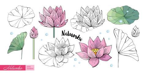 Lotus flowers, leaves, stems, buds hand drawn in color and in black and white line. Nelumbo. Set of Botanical illustration in vector. Romantic Floral elements.