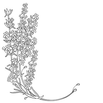 Corner bouquet with outline Lavender flower bunch, bud and leaves in black isolated on white background.