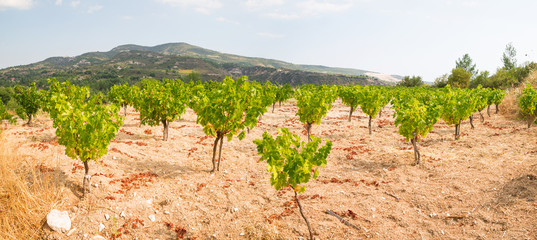 Vineyards on the island of Cyprus