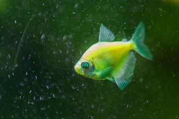 small luminous fish in green water