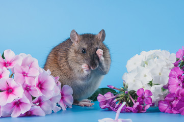 The Norway rat is sitting in fresh flowers