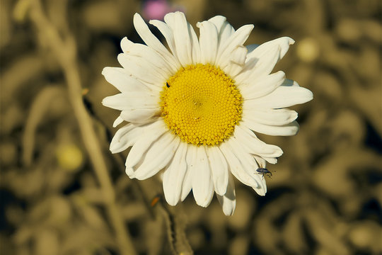 Wilted Chamomile Summer Afternoon