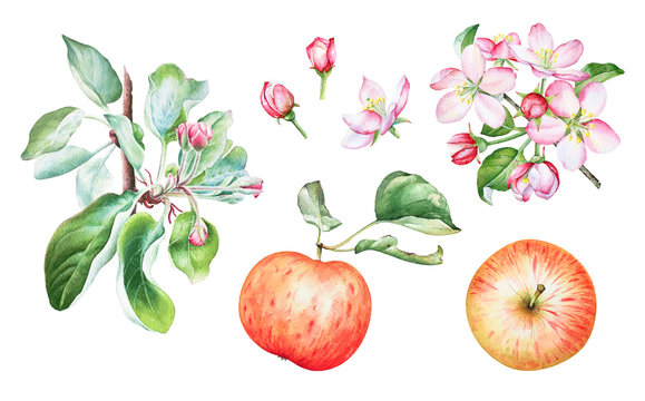 Watercolor apple tree branches with apples and flowers.
