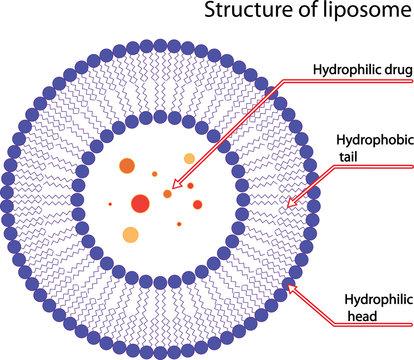 Structure of liposome, vector illustration