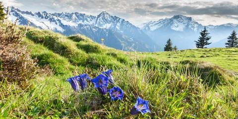 Fototapete - Panorama von Alpenblumen Enzian in den Bergen