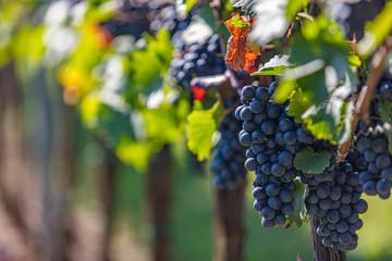 beautiful fresh blue grapes in late summer vineyard