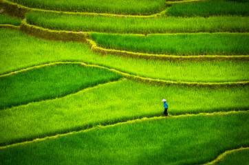 Tu Le, Vietnam. Man with conical hat on a carpet of rice fields of Tu Le, between Nghia Lo and Mu Cang Chai. Vietnam landscape. Aerial view.
