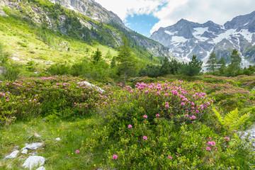 Fototapete - Berglandschaft mit Alpenrosen in Österreich