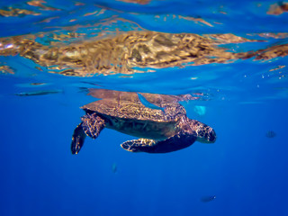 Hawaiian Green Sea Turtle with Blue Needlefish in Colorful Underwater Image