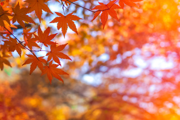Colourful red and yellow maple leafe under the maple tree with blurred background during autumn in South Korea,Maple red background..