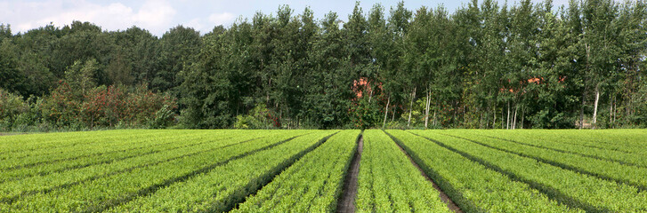 Horticulture. Tree nursery Netherlands