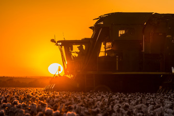 Fototapeten Braun Cotton Harvest with Sunset Machines