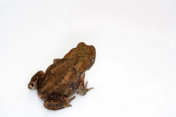 Discovered toad in the garden and taken to the studio for a short time to take pictures.