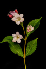 Blüte der Weigelie 3