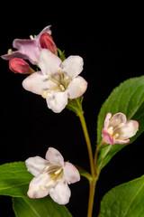 Blüte der Weigelie 2