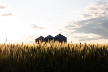 Quonset huts in a beautiful wheat field, at sunset, in central Alberta, Canada. Scenic view. Fototapete