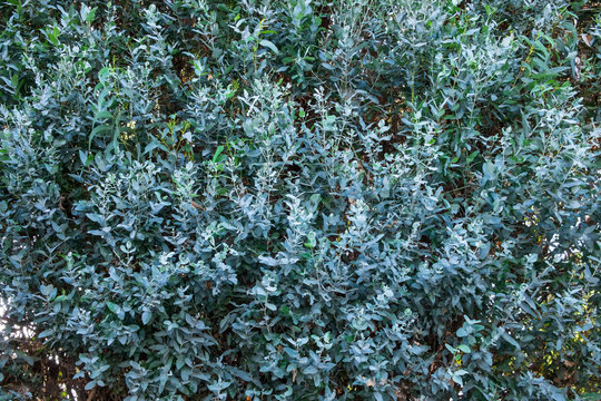 Eucalyptus foliage background fence