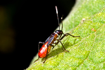 Insect photographed in Baixo Guandu, Espirito Santo. Southeast of Brazil. Atlantic Forest Biome. Picture made in 2008.