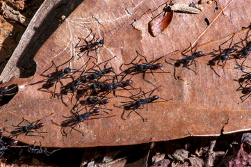Ant photographed in the city of Cariacica, Espirito Santo. Southeast of Brazil. Atlantic Forest Biome. Picture made in 2012.