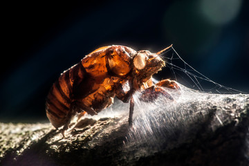 Cicada photographed in the city of Cariacica, Espirito Santo. Southeast of Brazil. Atlantic Forest Biome. Picture made in 2012.