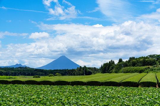 [鹿児島県]知覧の茶畑と開聞岳