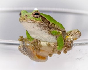 Tree Frog looking  while sitting on the edge of a glass