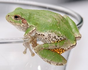 Tree Frog hanging on the edge of a glass