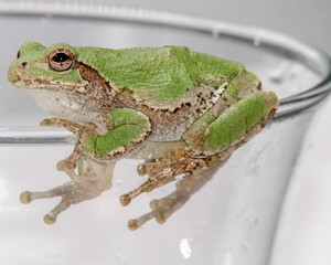 Tree Frog looking up while hanging on the edge of a glass
