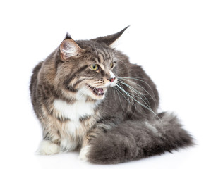 Hissing maine coon cat looking away. Isolated on white background