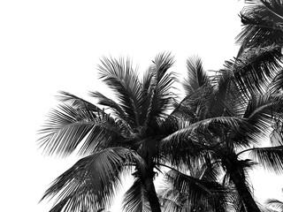 Palm leaves isolated  on white backgroun with copy space.Black and white picture.coconut tree