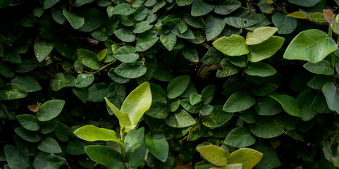 Leafs of the jungle, green and healthy. rainforest of indonesia, bali, asia. Fullframe closeup, detail. Wall mural