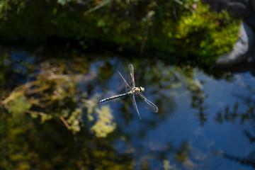 Blaugrüne Mosaikjungfer überfliegt den Bioteich