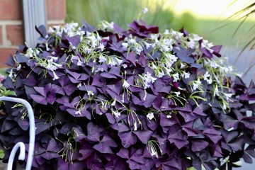 Purple shamrock, with bountiful pink bell shaped flowers .