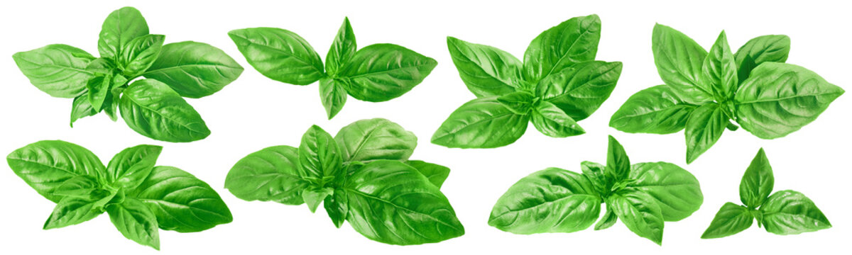 Fresh green basil set isolated on white background
