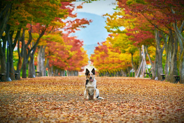 The dog poses for a photo in the center of the Park alley in autumn against the background of colorful trees.