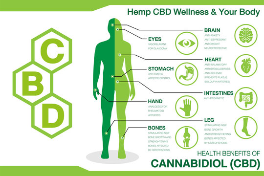 Hemp CBD Wellness and your body. Health benefits of Cannabidiol CBD from cannabis, hemp, marijuana effect on body. vector infographic on white background.