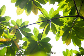 Sun shining through the green leaves of tropical forest.