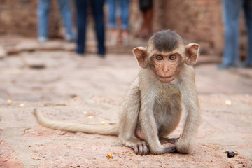 Cute baby monkey playing on the side of the road. Macaque portrait. Monkey life among people in Asian cities.