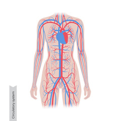 circulatory system anatomy