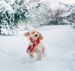 Cute and funny little dog with red scarf playing in the snow. Happy puddle puppy having fun with snowflakes.