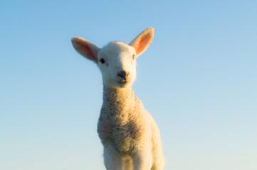 Curious cute little dike sheep baby