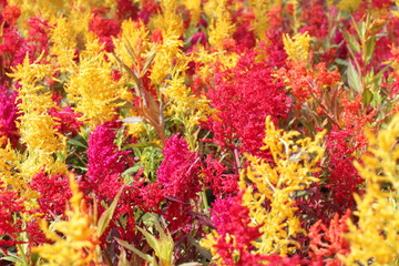 Garden Celosia flowers made of yellow, red and orange Amaranths